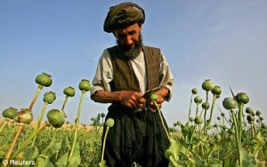 An Afghan farmer collects raw opium from poppies in Balkh province, Afghanistan. Heroin production in the country has increased significantly in recent years. Click to enlarge