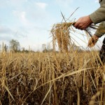 The Real Reason For Toxic Wheat (It's not gluten or hybridisation)