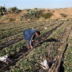 Thabet said an estimated 371 acres of farming land in central Gaza and 50 acres of land in eastern Khan Younis have been affected.