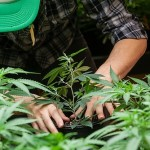 Monsanto, Bayer, and the Push for Corporate Cannabis