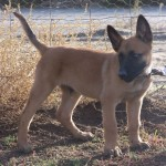 Belgian Malinois puppy. Click to enlarge