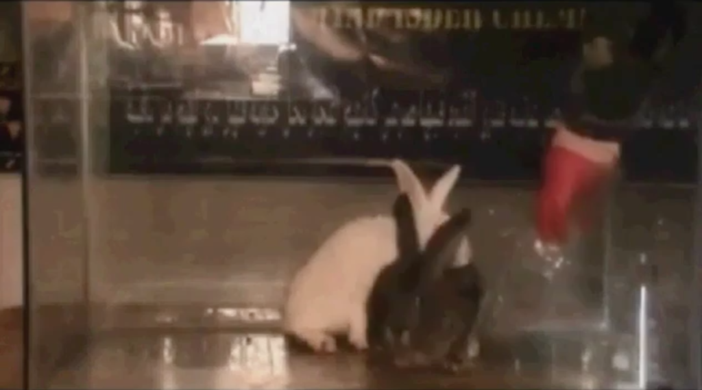 Daily Mail: Rebel tests weaponized chemical agent on rabbits in Syria. Click to enlarge