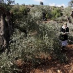A Palestinian elderly woman collects olives from broken olive tree branches in the village of Qusra, northern West Bank, Tuesday, Oct. 9, 2012. Palestinian farmers say Jewish settlers from the nearby settlement of Eli cut more than 70 olive trees overnight. Olives are the backbone of Palestinian agriculture. (AP Photo/Nasser Ishtayeh)