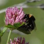Bumblebee lost to UK makes comeback on Dungeness shingle